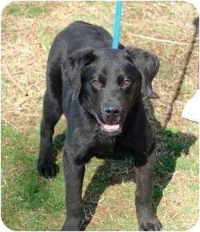 Labrador Retriever Mix Dog for adoption in kennebunkport, Maine - P.J.-ADOPTED!