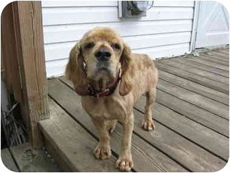 Cocker Spaniel Mix Dog for adoption in Mentor, Ohio - Paige 2yr Adopted