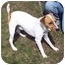 Photo 1 - Jack Russell Terrier Mix Dog for adoption in Bloomsburg, Pennsylvania - JT