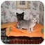 Photo 2 - Domestic Shorthair Kitten for adoption in San Diego/North County, California - KITTENS GALORE