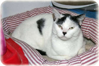 Domestic Shorthair Cat for adoption in Howell, Michigan - Spot