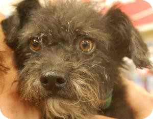 Terrier (Unknown Type, Small) Mix Dog for adoption in Anza, California - Teddy Bear