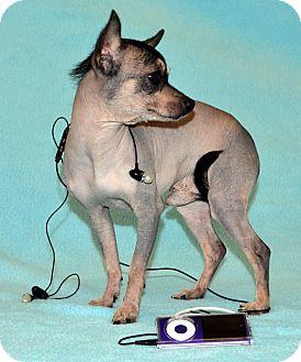 Xoloitzcuintle/Mexican Hairless Mix Dog for adoption in Bridgeton, Missouri - IPod-Adoption pending
