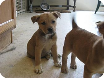 Husky/Shepherd (Unknown Type) Mix Puppy for adoption in Morgantown, West Virginia - Harley