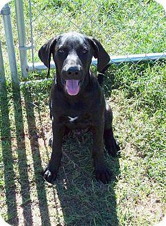 Plott Hound/Hound (Unknown Type) Mix Puppy for adoption in Waller, Texas - Trooper