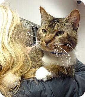 Domestic Shorthair Cat for adoption in Marietta, Georgia - MR. CHESTER (R)