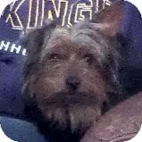 Yorkie, Yorkshire Terrier Dog for adoption in Cedar, Minnesota - Bentley