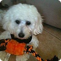 Adopt A Pet :: Bella - Rancho Mirage, CA