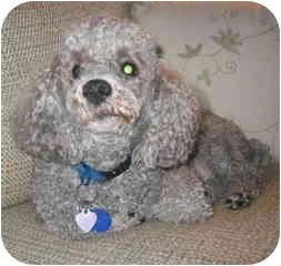 Poodle (Miniature) Dog for adoption in Melbourne, Florida - ARTHUR 636