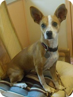 Basenji/Terrier (Unknown Type, Small) Mix Dog for adoption in Buford, Georgia - Happy-$150.00