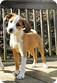 Beagle Mix Puppy for adoption in Allentown, Pennsylvania - Belle Chic (Sharp)