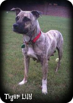 Mastiff Mix Dog for adoption in Cranford, New Jersey - Tiger Lily