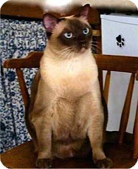 Tonkinese Cat for adoption in Davis, California - Savory