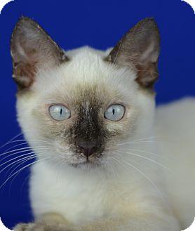 Siamese Kitten for adoption in LAFAYETTE, Louisiana - DOVE