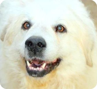 Great Pyrenees/Golden Retriever Mix Dog for adoption in Wakefield, Rhode Island - CHINA(A TRUE LADY-SO GENTLE!!