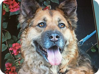German Shepherd Dog Mix Dog for adoption in Los Angeles, California - JAKE VON JUNIPER