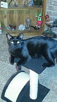Domestic Shorthair Cat for adoption in Wichita Falls, Texas - Geneva