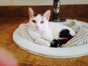 Domestic Mediumhair Cat for adoption in St. Cloud, Florida - Katie