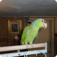 Adopt A Pet :: SADIE The Timid Lilac Crown Am - Vancouver, WA