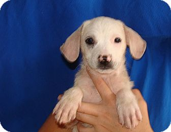 Sheltie, Shetland Sheepdog/Cocker Spaniel Mix Puppy for adoption in Oviedo, Florida - Jenny