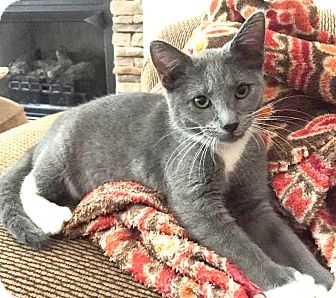 Polydactyl/Hemingway Cat for adoption in Lincolnton, North Carolina - Lawson