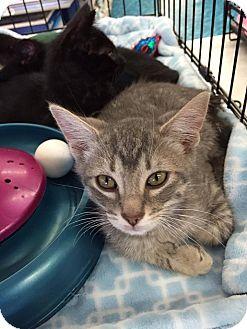 Domestic Shorthair Kitten for adoption in Mansfield, Texas - Speed Racer