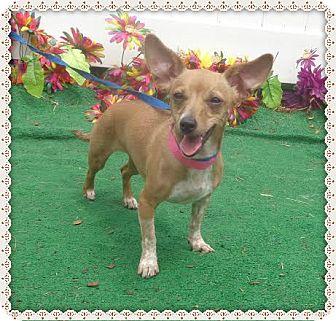 Chihuahua/Dachshund Mix Dog for adoption in Marietta, Georgia - SALLY SEE ALSO KRISSY