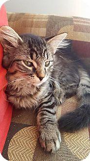 Domestic Mediumhair Kitten for adoption in Calgary, Alberta - Ameila