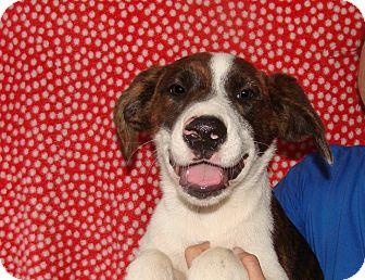 Mastiff/American Bulldog Mix Puppy for adoption in Oviedo, Florida - Annabell