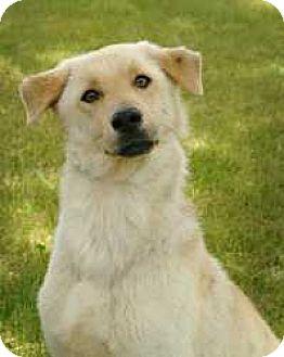Labrador Retriever/Shepherd (Unknown Type) Mix Dog for adoption in Kankakee, Illinois - Timone