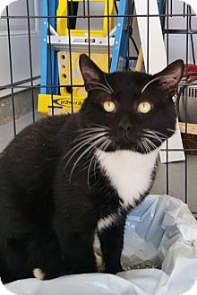 Domestic Shorthair Cat for adoption in Union, New Jersey - Church