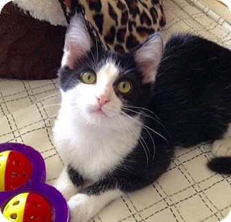 Domestic Shorthair Kitten for adoption in Charlotte, North Carolina - A..  Eleanor