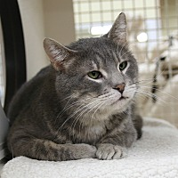 Domestic Shorthair Cat for adoption in Rochester, Minnesota - Gandorf