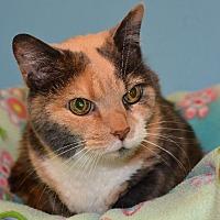 Domestic Shorthair Cat for adoption in Cincinnati, Ohio - Mabel