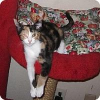 Adopt A Pet :: Calico Jo - Seminole, FL