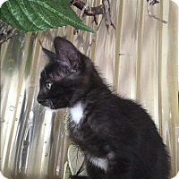 Domestic Shorthair Kitten for adoption in Mission Viejo, California - Cedar