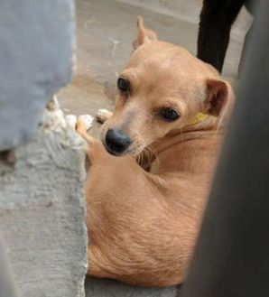 Chihuahua Mix Dog for adoption in Denver, Colorado - Hardin