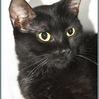 Domestic Shorthair/Domestic Shorthair Mix Cat for adoption in Frederick, Maryland - GIGI