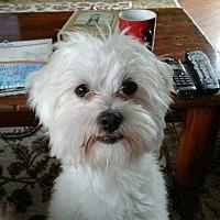 Adopt A Pet :: Poppy - Covina, CA