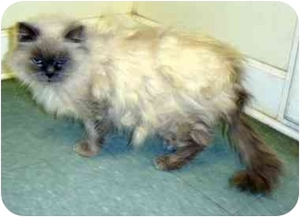 Persian Cat for adoption in Albany, Georgia - Isabella