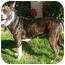 Photo 1 - American Pit Bull Terrier Mix Dog for adoption in Berkeley, California - Athena