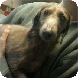 Dachshund Dog for adoption in Everett, Washington - 3 Dachshunds