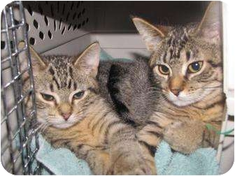 Domestic Mediumhair Cat for adoption in Roseville, Minnesota - Beebee and Bobbie