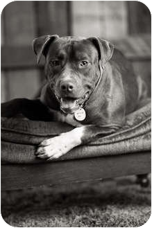 Pit Bull Terrier Dog for adoption in Portland, Oregon - Charlie