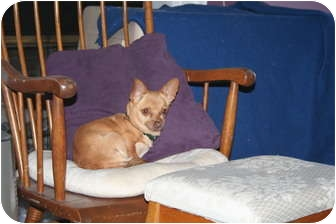 Chihuahua Dog for adoption in Westfield, Indiana - Rosey