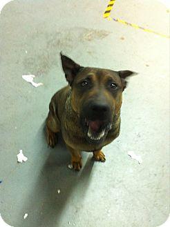 Shar Pei/Chow Chow Mix Dog for adoption in Ocean Ridge, Florida - Stanley