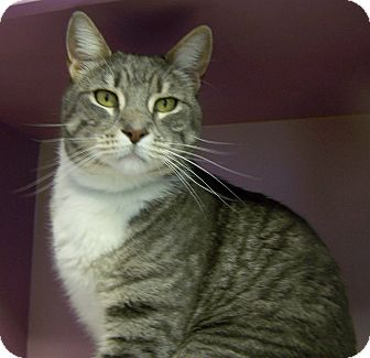 Domestic Shorthair Cat for adoption in Grants Pass, Oregon - Bennie