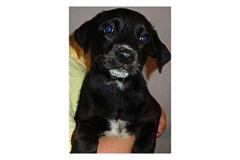 Labrador Retriever Mix Puppy for adoption in Pompton Lakes, New Jersey - Diamond