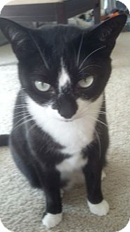 American Shorthair Cat for adoption in West Dundee, Illinois - Tippy