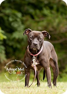 Pit Bull Terrier Mix Dog for adoption in Mansfield, Ohio - Lola